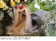 Купить «Domestic dog, Yorkshire Terrier, with bow in hair», фото № 25311867, снято 17 января 2018 г. (c) Nature Picture Library / Фотобанк Лори