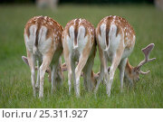 Купить «Rear view of three Fallow deer (Dama / Cervus dama) young buck and does in parkland, UK», фото № 25311927, снято 26 мая 2019 г. (c) Nature Picture Library / Фотобанк Лори