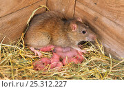 Купить «Brown rats (Rattus norvegicus) with newborn young in nest, Norfolk, UK», фото № 25312227, снято 26 мая 2019 г. (c) Nature Picture Library / Фотобанк Лори