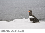 Купить «Steller's sea eagle (Haliaeetus pelagicus) beside Lake Kuril in snow, Kamchatka, Far East Russia, January», фото № 25312231, снято 21 ноября 2019 г. (c) Nature Picture Library / Фотобанк Лори