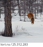 Купить «Red fox (Vulpes vulpes) leaping, pouncing on rodent prey in snow,  Kamchatka, Far east Russia, March», фото № 25312283, снято 21 марта 2019 г. (c) Nature Picture Library / Фотобанк Лори