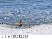 Купить «Red fox (Vulpes vulpes) on coast with gulls flying overhead, Kamchatka, Far east Russia, March», фото № 25312323, снято 23 мая 2019 г. (c) Nature Picture Library / Фотобанк Лори