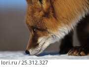 Купить «Red fox (Vulpes vulpes) foraging on snow, sniffing, Kamchatka, Far east Russia, March», фото № 25312327, снято 16 июня 2019 г. (c) Nature Picture Library / Фотобанк Лори