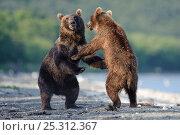 Купить «Kamchatka Brown bears (Ursus arctos beringianus)  fighting, Kamchatka, Far east Russia, July», фото № 25312367, снято 19 августа 2019 г. (c) Nature Picture Library / Фотобанк Лори