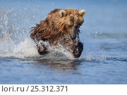 Купить «Kamchatka Brown bear (Ursus arctos beringianus)  leaping, fishing for salmon in river, Kamchatka, Far east Russia, July», фото № 25312371, снято 21 марта 2019 г. (c) Nature Picture Library / Фотобанк Лори