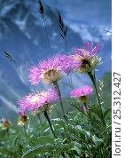 Купить «Alpine meadows with Caucasian scabious (Scabiosa caucasica) in Bezengi gorge, July, 3000m. W-C Caucasus, Kabardino-Balkarskiy nature reserve, Russia», фото № 25312427, снято 13 июля 2019 г. (c) Nature Picture Library / Фотобанк Лори