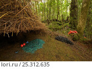 Купить «Bower of a Vogelkop Bowerbird (Amblyornis inornata) decorated with a pile of blue colored rotting wood, a blue mushroom, blue berries, orange fruits, and...», фото № 25312635, снято 19 июля 2018 г. (c) Nature Picture Library / Фотобанк Лори