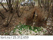 Купить «Great Bowerbird (Chlamydera nuchalis) male at his bower decorated with green glass, white plastic, grey plastic, and other decorations. A vehicle passes...», фото № 25312659, снято 19 июля 2018 г. (c) Nature Picture Library / Фотобанк Лори