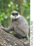 Купить «Montane Purple-faced Langur / Bear Monkey, (Trachypithecus vetelus monticola) sitting on log. Endangered species. Highlands near Nuwara Eliya, endemic to Sri Lanka.», фото № 25312759, снято 17 августа 2018 г. (c) Nature Picture Library / Фотобанк Лори