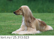 Купить «Domestic dog, Afghan Hound / Tazy / Baluchi Hound, lying down», фото № 25313023, снято 16 февраля 2019 г. (c) Nature Picture Library / Фотобанк Лори