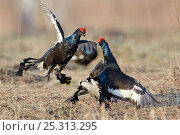 Купить «Black grouse (Tetrao tetrix) two males displaying and fighting at lek, Kurgan province, southern Russia, May», фото № 25313295, снято 23 января 2019 г. (c) Nature Picture Library / Фотобанк Лори