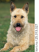 Купить «Domestic dog, Belgian shepherd dog / Laekenois /  Laekense, portrait, lying», фото № 25313327, снято 25 мая 2019 г. (c) Nature Picture Library / Фотобанк Лори