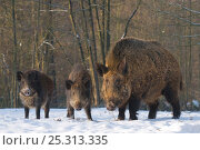 Купить «Wild Boar (Sus scrofa) adult with two juveniles standing in snow. The Netherlands, January.», фото № 25313335, снято 21 марта 2019 г. (c) Nature Picture Library / Фотобанк Лори