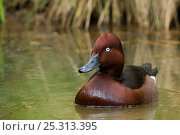 Ferruginous Duck (Aythya nyroca) on water. The Netherlands. Стоковое фото, фотограф Edwin Giesbers / Nature Picture Library / Фотобанк Лори