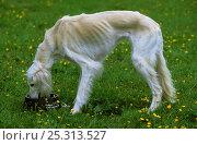 Купить «Domestic dog, Saluki / Arabian Hound / Gazelle Hound / Persian Greyhound, drinking from bowl», фото № 25313527, снято 25 мая 2019 г. (c) Nature Picture Library / Фотобанк Лори