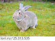 Купить «Flemish giant rabbit (Oryctolagus cuniculus) elderly, portrait sitting on grass, France», фото № 25313535, снято 23 марта 2019 г. (c) Nature Picture Library / Фотобанк Лори