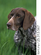 German shorthaired pointer / Kurzhaar, portrait. Стоковое фото, фотограф Yves Lanceau / Nature Picture Library / Фотобанк Лори