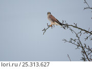 Купить «Common Kestrel (Falco tinnunculus) male perching in tree. Germany, January.», фото № 25313627, снято 15 декабря 2017 г. (c) Nature Picture Library / Фотобанк Лори