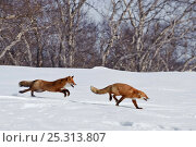 Купить «Red fox (Vulpes vulpes) one fox chasing another across snow,  Kamchatka, Far east Russia,  April», фото № 25313807, снято 15 октября 2018 г. (c) Nature Picture Library / Фотобанк Лори