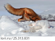 Купить «Red fox (Vulpes vulpes) digging to bury hare prey in snow, Kamchatka, Far east Russia, January», фото № 25313831, снято 19 января 2019 г. (c) Nature Picture Library / Фотобанк Лори