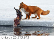 Купить «Red fox (Vulpes vulpes) pulling dead salmon out of water onto ice, Kamchatka, Far east Russia, January», фото № 25313843, снято 17 октября 2019 г. (c) Nature Picture Library / Фотобанк Лори