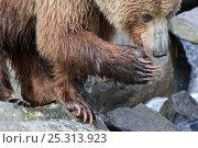 Купить «Kamchatka Brown bear (Ursus arctos beringianus) with paw raised on rocks on coast, Kamchatka, Far east Russia, July», фото № 25313923, снято 14 декабря 2019 г. (c) Nature Picture Library / Фотобанк Лори