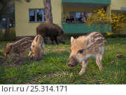 Wild boar (Sus scrofa) sow and piglets foraging in a city garden, Berlin, Germany, March 2007. Стоковое фото, фотограф Florian Möllers / Nature Picture Library / Фотобанк Лори