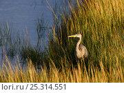 Купить «Great blue heron (Ardea herodias) in marsh, Prince Edward Island National Park, Canada, October», фото № 25314551, снято 23 марта 2019 г. (c) Nature Picture Library / Фотобанк Лори