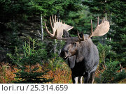 Купить «Moose (Alces alces) portrait of bull standing in forest clearing, Cap Breton Highlands National Park, Nova Scotia, Canada, September», фото № 25314659, снято 23 июля 2018 г. (c) Nature Picture Library / Фотобанк Лори