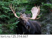 Купить «Moose (Alces alces) portrait of bull, Cap Breton Highlands National Park, Nova Scotia, Canada», фото № 25314667, снято 17 октября 2018 г. (c) Nature Picture Library / Фотобанк Лори