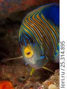 Regal / Royal angelfish (Pygoplites diacanthus) North Raja Ampat, West Papua, Indonesia, Стоковое фото, фотограф Jurgen Freund / Nature Picture Library / Фотобанк Лори