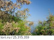 Купить «French Tamarisk / Salt cedar (Tamarix gallica) in flower on Port Cros Island National Park, on a beach near the harbour. Hyeres archipelago, France, May.», фото № 25315359, снято 23 апреля 2019 г. (c) Nature Picture Library / Фотобанк Лори