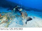 Купить «Diver interacting with Dusky grouper (Epinephelus marginatus) off the coast of Capraia. Tuscany, Italy, August.», фото № 25315943, снято 16 января 2019 г. (c) Nature Picture Library / Фотобанк Лори
