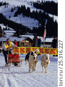 Купить «Domestic dog, competitor in sledge dog race, France», фото № 25316227, снято 25 мая 2019 г. (c) Nature Picture Library / Фотобанк Лори
