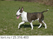 Купить «Domestic dog, English Bull Terrier, trotting», фото № 25316403, снято 20 февраля 2018 г. (c) Nature Picture Library / Фотобанк Лори