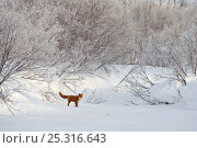 Купить «Red fox (Vulpes vulpes) in winter landscape with deep snow, Kamchatka, Far east Russia, January», фото № 25316643, снято 17 октября 2019 г. (c) Nature Picture Library / Фотобанк Лори