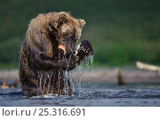 Kamchatka Brown bear (Ursus arctos beringianus) feeding on salmon caught in river, Kamchatka, Far east Russia, August. Стоковое фото, фотограф Sergey Gorshkov / Nature Picture Library / Фотобанк Лори