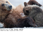 Купить «Kamchatka Brown bear (Ursus arctos beringianus)  mother rolling over on back for baby to suckle, Kamchatka, Far east Russia, August», фото № 25316707, снято 26 мая 2019 г. (c) Nature Picture Library / Фотобанк Лори