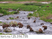 Купить «Large number of Kamchatka Brown bears (Ursus arctos beringianus)  fishing for salmon in river, Kamchatka, Far east Russia, July», фото № 25316735, снято 14 июля 2020 г. (c) Nature Picture Library / Фотобанк Лори