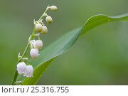 Купить «Lily of the valley (Convallaria majalis) in flower, Brasschaat, Belgium, May», фото № 25316755, снято 24 сентября 2018 г. (c) Nature Picture Library / Фотобанк Лори