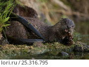 Canadian otter / North American river otter (Lontra / Lutra canadensis... Стоковое фото, фотограф John Cancalosi / Nature Picture Library / Фотобанк Лори