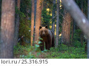 Купить «Brown bear (Ursus arctos) in woodland, Finland.», фото № 25316915, снято 18 августа 2018 г. (c) Nature Picture Library / Фотобанк Лори