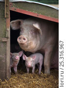 Купить «RF- Domestic pig, hybrid large white sow and piglets in sty, UK, September 2010.», фото № 25316967, снято 20 января 2018 г. (c) Nature Picture Library / Фотобанк Лори
