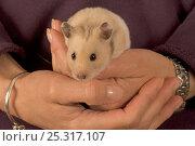 Купить «Pet Hamster (Mesocricetus auratus) held in hand», фото № 25317107, снято 19 августа 2018 г. (c) Nature Picture Library / Фотобанк Лори