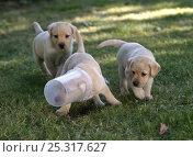 Купить «Dog, Labrador Retriever, three yellow puppies playing with plastic container, 10 weeks», фото № 25317627, снято 25 мая 2019 г. (c) Nature Picture Library / Фотобанк Лори