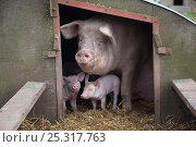 Купить «Domestic pig, hybrid large white sow and piglets in sty, UK, September 2010», фото № 25317763, снято 21 июля 2018 г. (c) Nature Picture Library / Фотобанк Лори