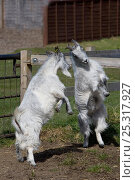 Купить «Two Domestic goats (Capra hircus) play fighting, Norfolk, UK, April», фото № 25317927, снято 26 мая 2019 г. (c) Nature Picture Library / Фотобанк Лори