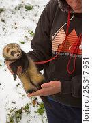Купить «Domestic ferret (Mustela putorius furo)  being taken out for a walk in winter, Southrepps, Norfolk, UK, November 2008», фото № 25317951, снято 6 июля 2020 г. (c) Nature Picture Library / Фотобанк Лори