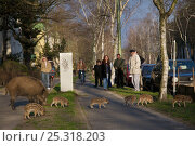 People watching Wild boar (Sus scrofa) sow and pitlets on the curb of Argentinische Allee, Berlin, Germany, March 2007. Стоковое фото, фотограф Florian Möllers / Nature Picture Library / Фотобанк Лори