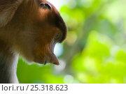 Proboscis Monkey (Nasalis larvatus) female head portrait looking towards the ground, Bako National Park, Sarawak, Malaysia, Borneo. Стоковое фото, фотограф Edwin Giesbers / Nature Picture Library / Фотобанк Лори